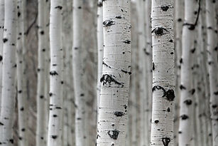 birch tree image.jpg