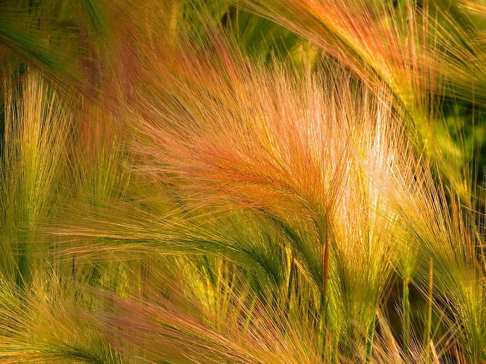 foxtail-barley-1493651_1280.jpg