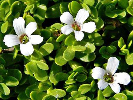 Bacopa Provides a Calm, Focused Effect with a Memory Boost