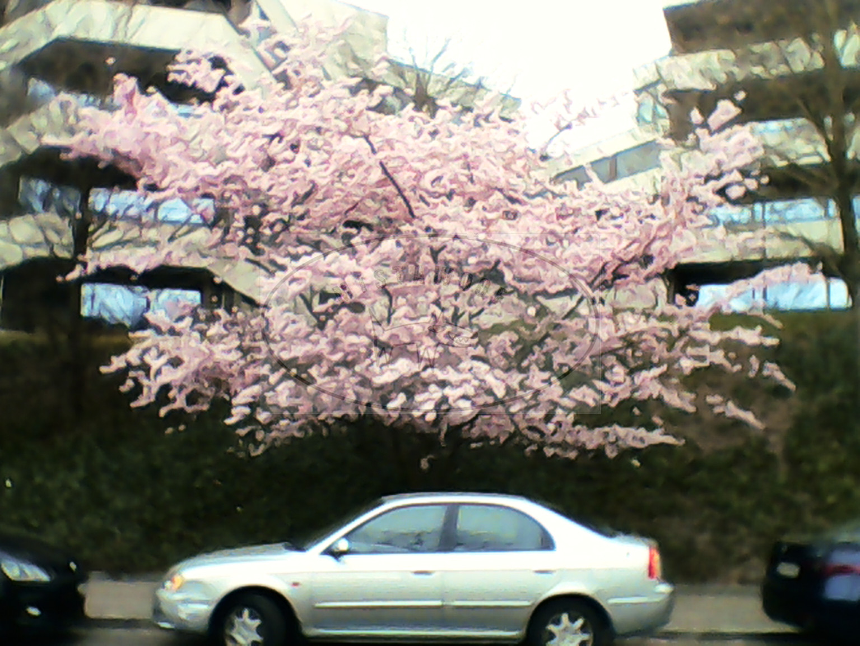 Pink Tree, Silver Car