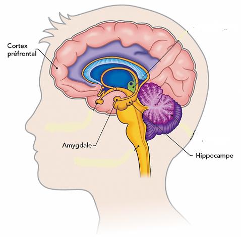 Coupe_transversale_du_cerveau02.png
