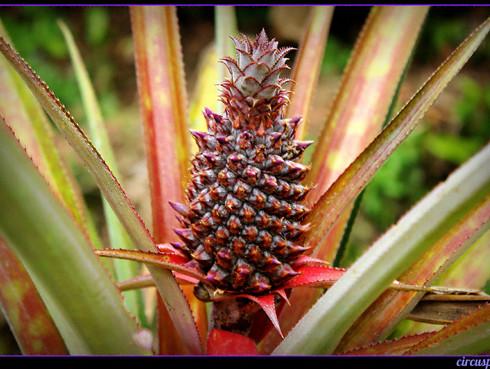 pineapple in JA