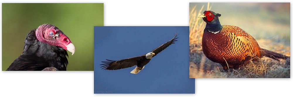 Turkey Vulture, Bald Eagle, Pheasant
