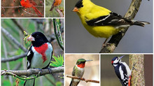 God's Creation & Critters – Song Birds