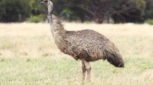 God's Creation & Critters: Emma the Emu
