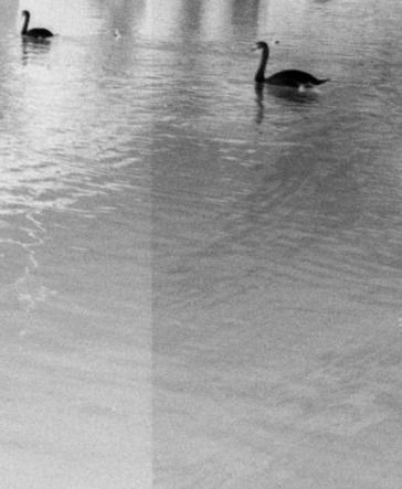 swans%203_edited.jpg