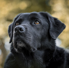 Oby the black labrador