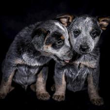 Clever's keep australian cattledogs