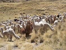 camelidos sudamericanos.jpg