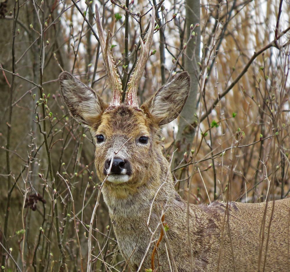 Roe-Deer.jpg