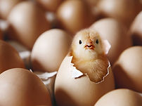 hatching egg.jpg