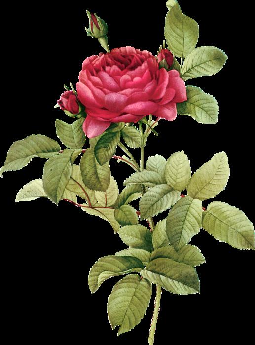 FAVPNG_rose-printing-clip-art_yQMWiEJY.p
