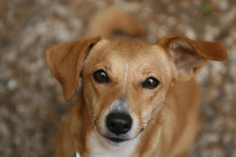 Paralimni Dog Pound Brown Dog