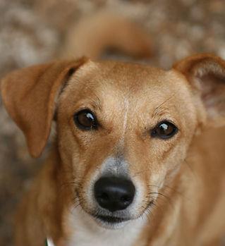 A Labrador Mixed Dog