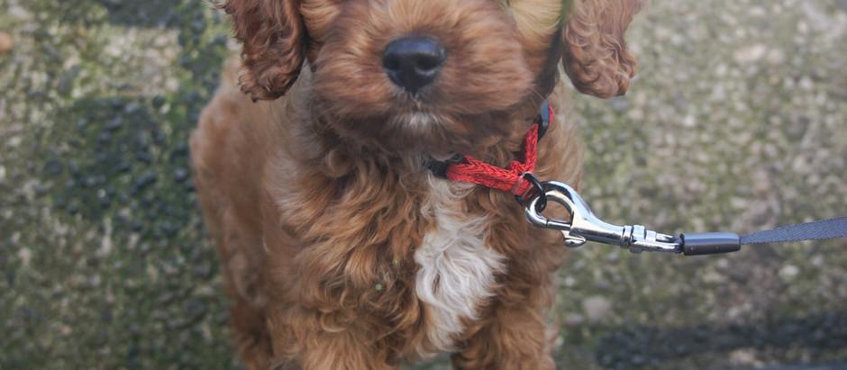 New Puppy Essentials Guide