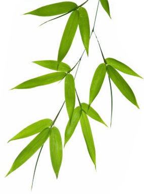 Bamboo-leaves trimmed.jpg