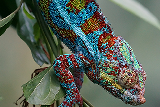 Customiazation Chameleon