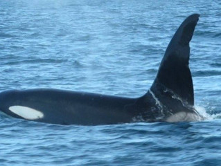 And then we saw Orca's!