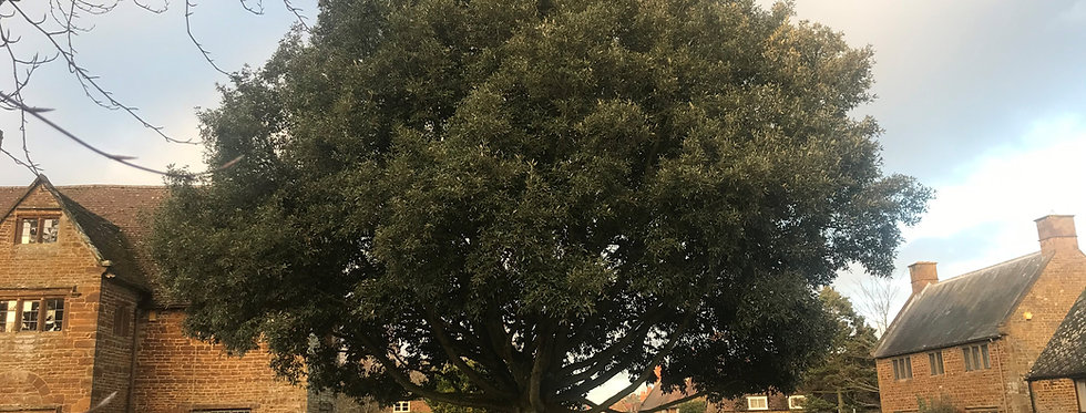 The Holm Oak on The Green in 2020