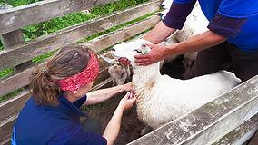 Hihealth Flockcare and Premium Sheep & Goat scheme testing