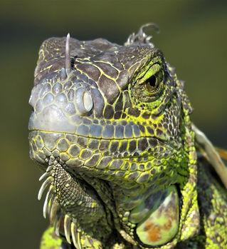 iguana-4457650_1920.jpg