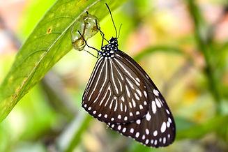 papillon goutte d'eau.jpg