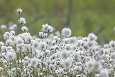 cotton-grass-4794532_1920.jpg