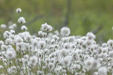 cotton-grass-4794532_1920.jpg