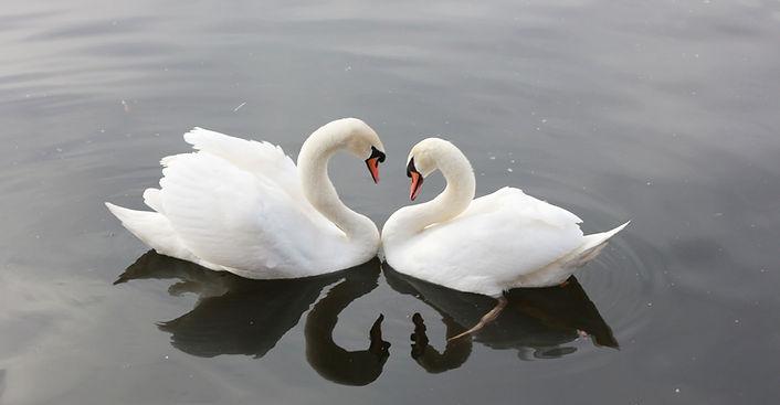 couple cygnes-3340736_1920.jpg