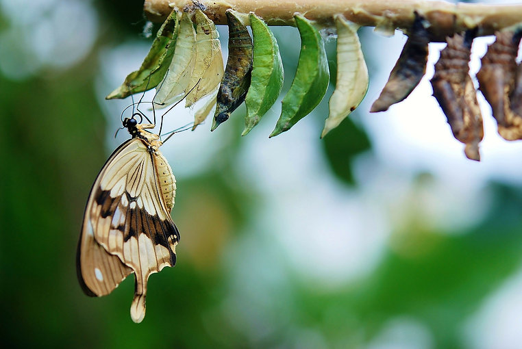 papillon sorti chrysalide.jpg