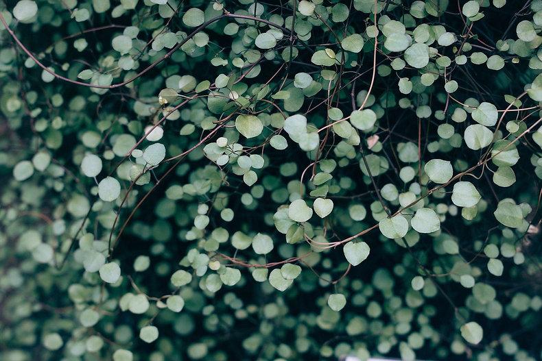 plante feuilles coeur-690078_1920.jpg