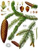 Picea_abies_-_Köhler–s_Medizinal-Pflanz