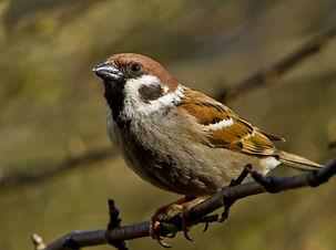 sparrow-1744751_1920.jpg