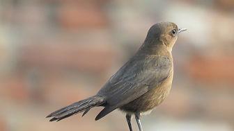 nightingale-bird-5203443_1920.jpg