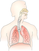 anatomy-145696_1280.png