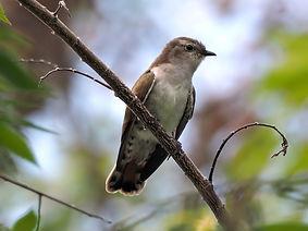 plaintive-cuckoo-4398763_1920.jpg