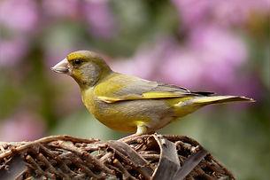 greenfinch-818185_1920.jpg