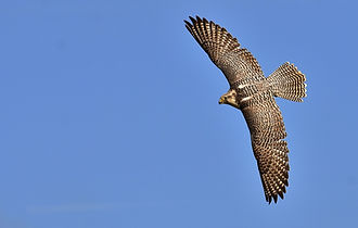 falcon-2909842_1920.jpg