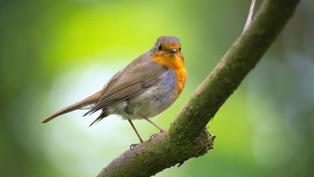 Vogel des Jahres 2021: Das Rotkehlchen
