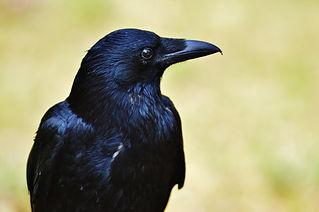 raven-1347374_1920.jpg