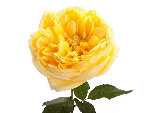 Пионовидная роза 50 см.