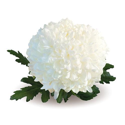 Хризантема-шар