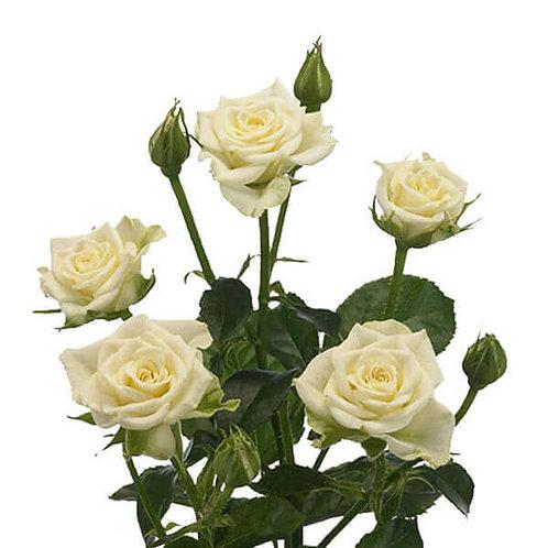 Роза кустовая 50 см.