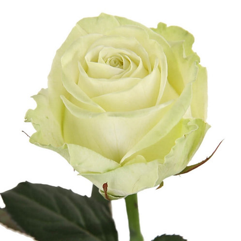 Роза (Эквадор) 50 см.