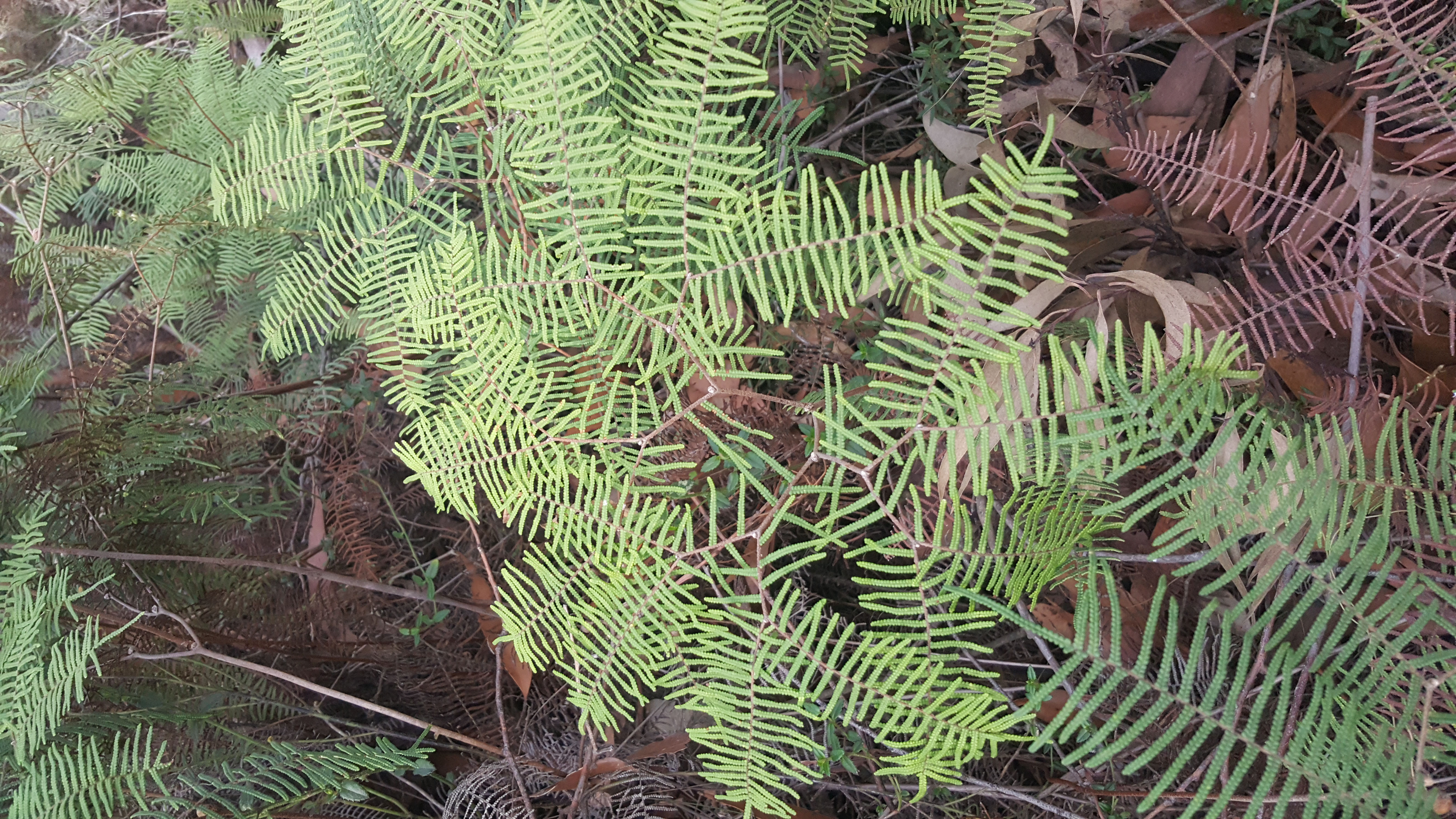 POUCH CORAL FERN