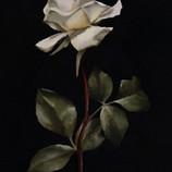 Pale Rose