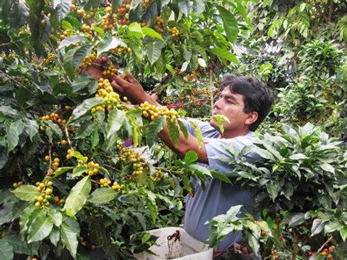 Organic Peru Norte