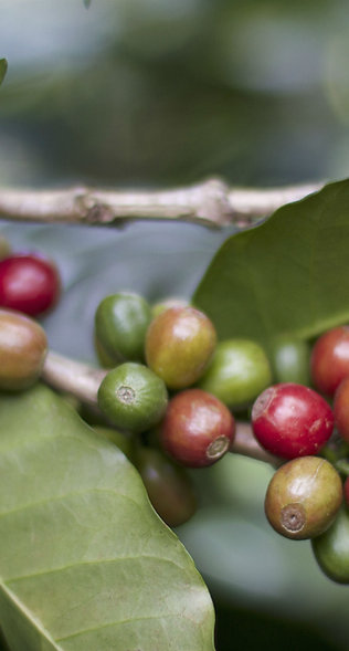 Organic Timor