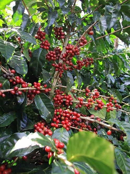 Organic Honduras Copan
