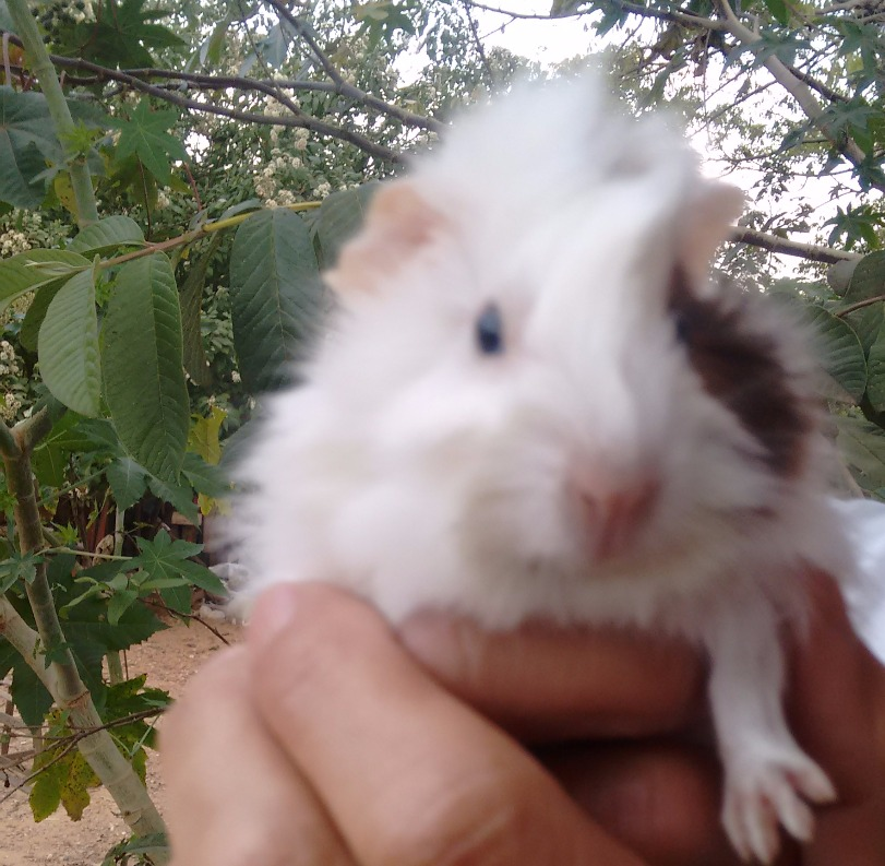 Porquinho da India Rancho Alegro